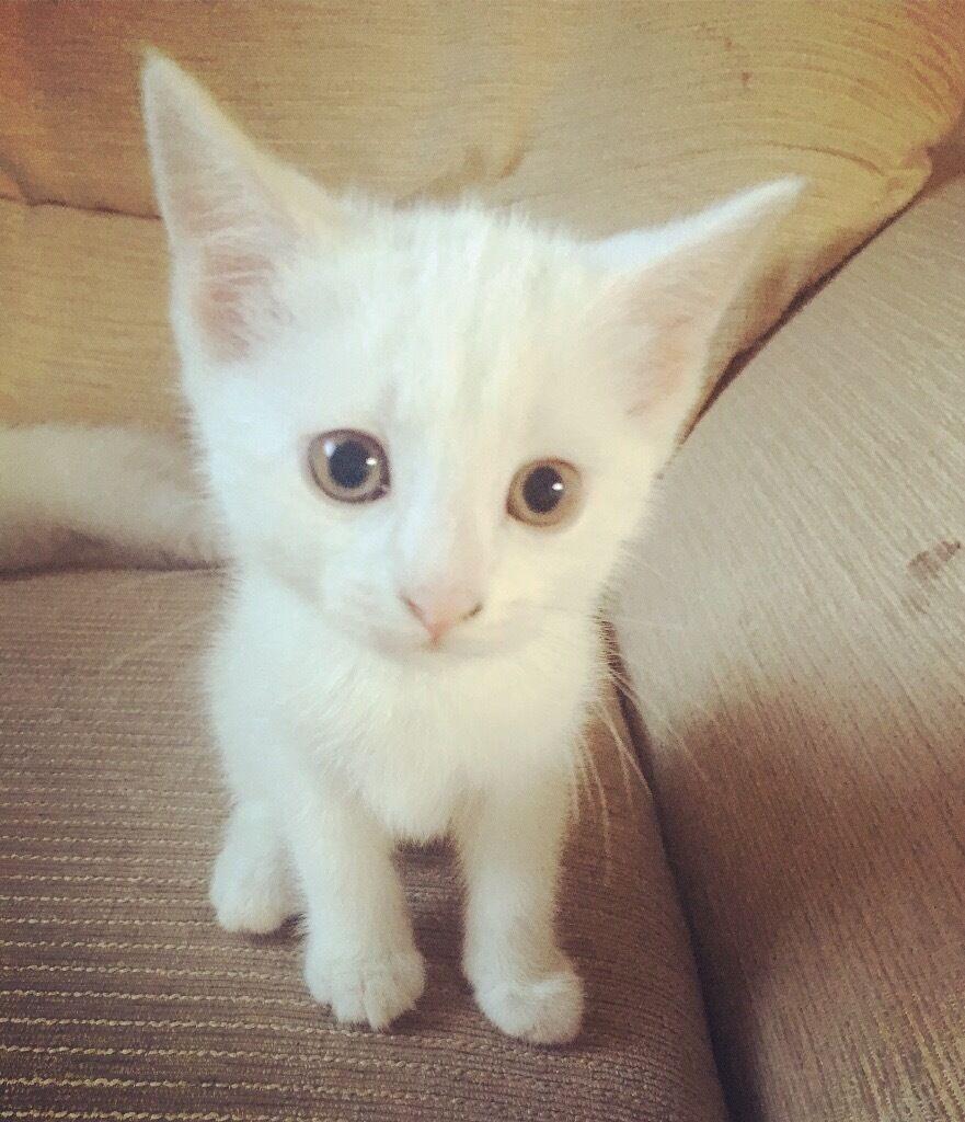 Pure white kitten for sale in Bredbury Manchester