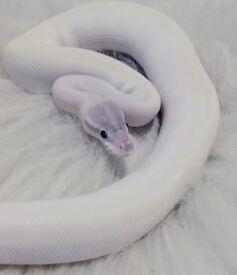 CB16 Super Mojave Royal Python