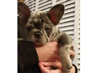 2 Merle MALE french bulldogs pups for sale