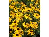 RUDBECKIA GOLDSTURM - 2 PLANTS IN 9 CM POTS - £6.65 INCLUDING POSTAGE & PACKING