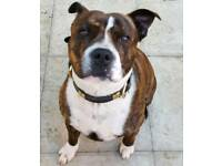 4 year old male staffi looking for new home
