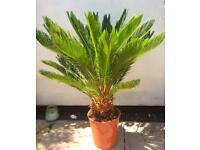 Giant cycad palm