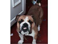 British bulldog 18 months old full kc reg