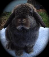 Female Baby Holland Lop Bunny