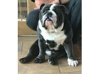 English Bulldog Puppies, Tri Colour, KC Registered