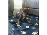 Whippet x sprocker spaniel puppy for sale
