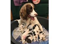 Pedigree English Springer Spaniel puppies