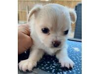 Chihuahua boy pups