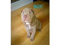 UPDATE LILAC SHAR PEI PUPPIES KCREG