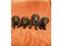 Cocker Spaniel Puppies Pra and FN Clear