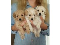 Stunning Poochon Puppies