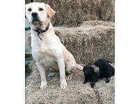 ***Chunky Labrador puppy's ***