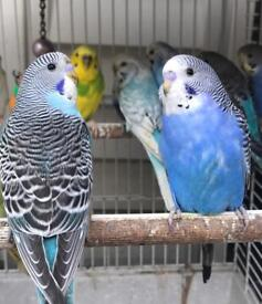 Beautiful colourful budgies for sale