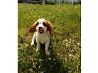 Beautiful Cavarlier King Charles Puppy