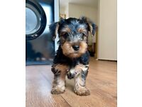 Miniature Yorkshire Terrier Puppies - ONE MORE LEFT!