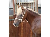 Liver chestnut mare with flaxen mane and tail,
