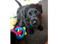 Labradoodle puppies must see only 2 left