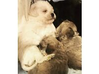 Toy pugapoo puppies toy poodle cross pug