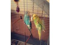 *Beautiful baby budgies for sale with cage etc*