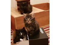 Fluffy Playful Kittens