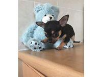 Xx tiny chihuahua puppies xx