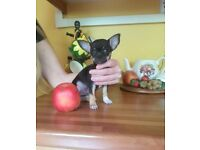 Beautiful full pedigree tri girl chihuahua puppy