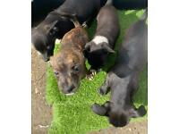 Jack Russell puppies for QUICK sale open to offers