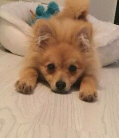*MUST SEE* ADORABLE POMERANIAN PUP...