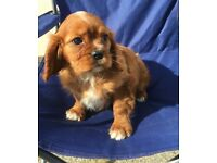 Cavalier King Charles Spaniel - Ready Now!!!!