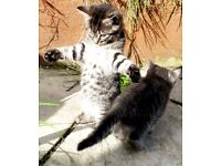 4 Crazy Kittens for Sale, Grey and Brown Tabbies, Family Friendly Poole