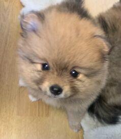 Cute little Pomeranian girl