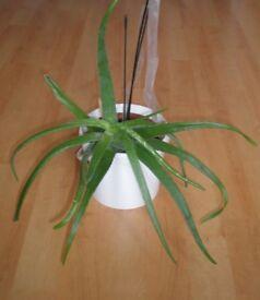 Organic Aloe Vera Plant