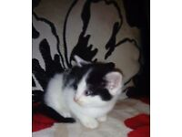 For sale persian x tabby kittens