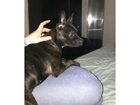 10 month old female French bull dog x Russian toy