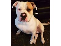 American bulldog for sale he's a big gentle Giant