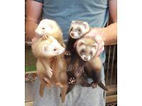 9 to 10 week old ferret kits