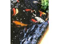 Complete pond set up with fish, air filter and UV pump plus plants