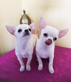 KC registered,Gorgeous extra small (tea-cup) size,chihuahua female puppies.