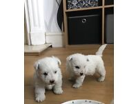 Wechon puppies for sale