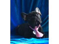 French bulldog pups handsome bull dog puppy now ready boy Male Frenchie cuddly bear pedigree pure