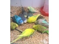 4 pair budgies