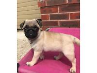Kennel Club registered female pug puppy READY NOW