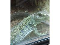 eyed lizard (jewelled lacerta)