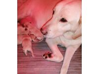 KC LABRADOR PUPPIES