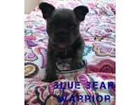 Beautiful Blue Bear Warrior French Bulldog Black and Tan genes KC REG