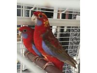 Pair of Rosellas