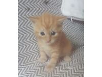 Female ginger kitten ready to go in 2 weeks.