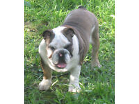 Amazing English Bulldog puppies (two males)