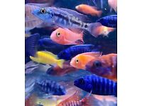 African Malawi Cichlids Mbuna Peacocks Tanganyikan Tropical fish tank London Wembley