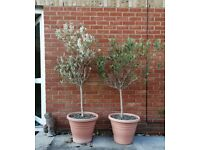 Pair of Standard Mature Olive Trees in Pots: 1.7m and 1.6m high